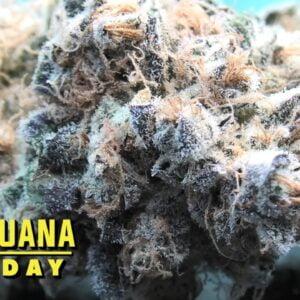 Blackberry Breath Marijuana Monday