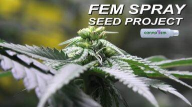 Canna Fem Spray Seed Project UPDATE!