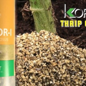 Controlling Thrips without any Sprays (Biological Bug Control)