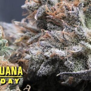 Joker's Wild Marijuana Monday
