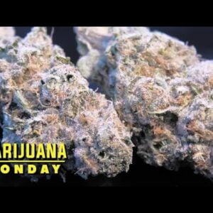 Vanilla Crescendo Marijuana Monday