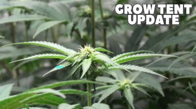 Youngblood's LED Grow Tent Update (Week 2)