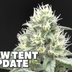 Youngblood's LED Grow Tent Update (Week 4)