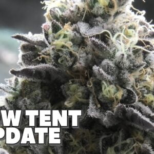 Youngblood's LED Grow Tent Update (Week 8)