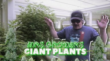 Mrs. Grower's Giant Plant Update