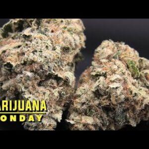 Blue Dream Marijuana Monday