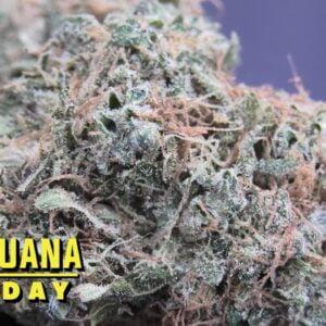 Afghani Bullrider Marijuana Monday