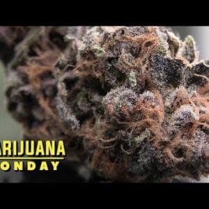 Black Cherry Punch Marijuana Monday