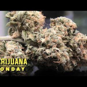 Animal Cookies X Fruity Pebbles OG Marijuana Monday