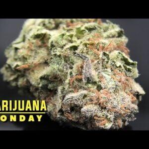 Terpwin Station Marijuana Monday