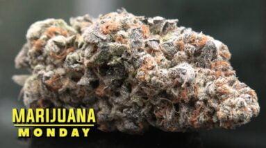 Guava Cooler Marijuana Monday